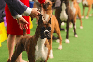 How Much Does it Cost to Get Your Dog Into a Dog Show?
