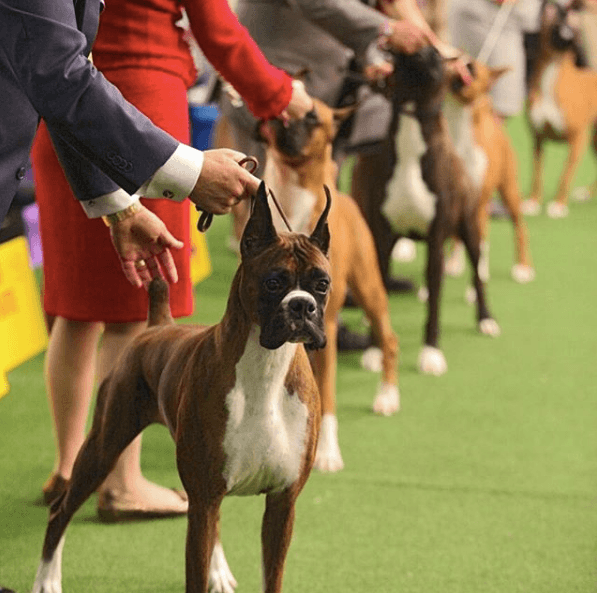 Boxers at the dog show