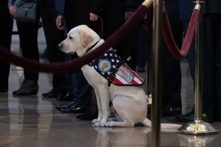 Sully, the service dog of former US President George H. W. Bush