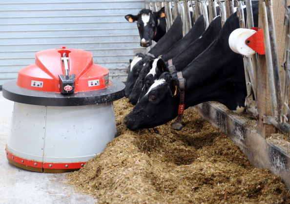 A feeding robot pushing food towards dairy cows