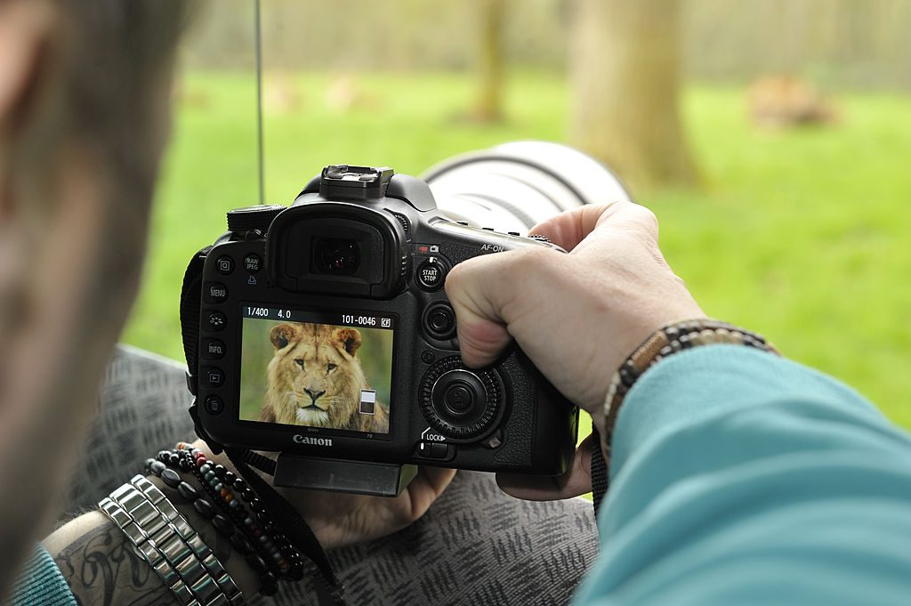 A photographer checks the image of a lion