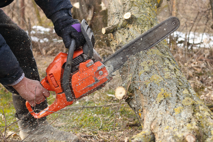 Sawing a tree trunk
