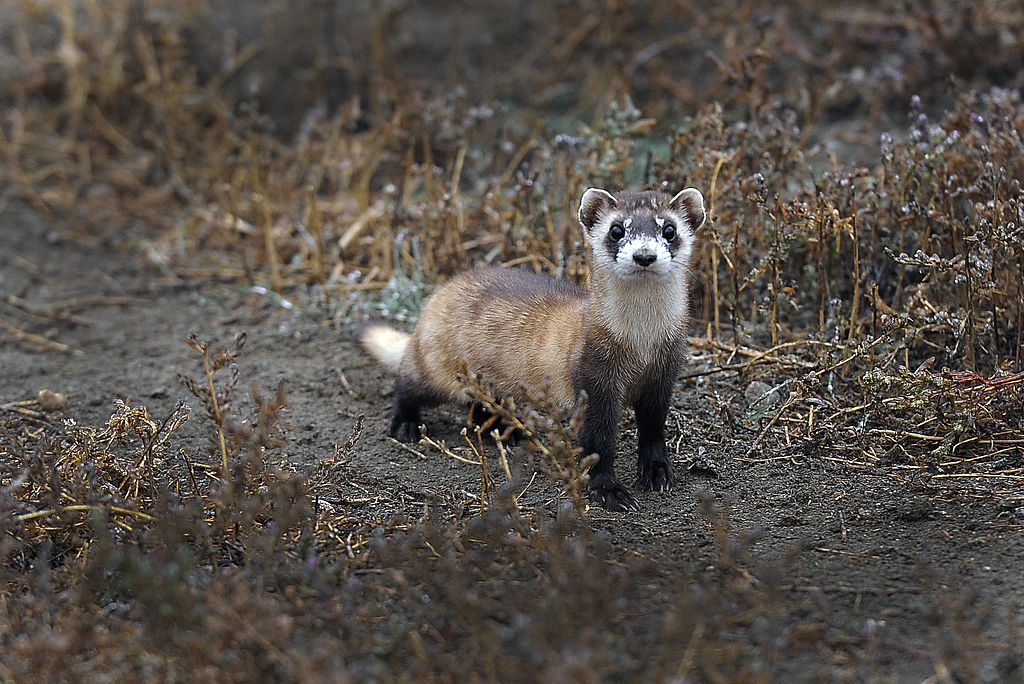 A black-footed ferret in captivity