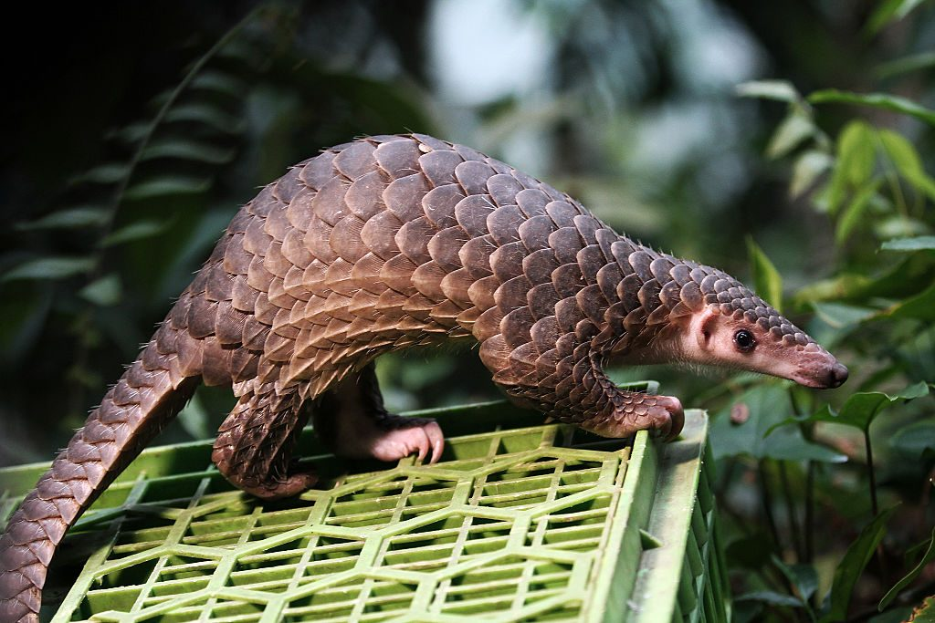 Pangolin being released into the wild