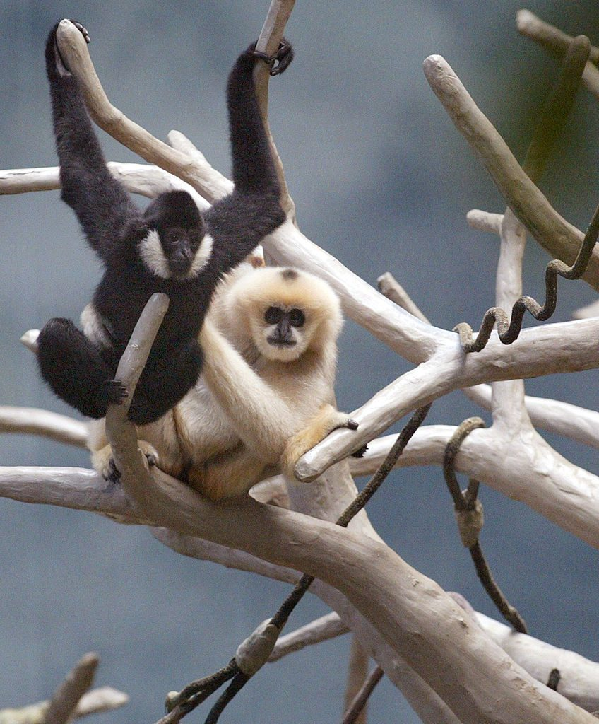 Two white-cheeked gibbons