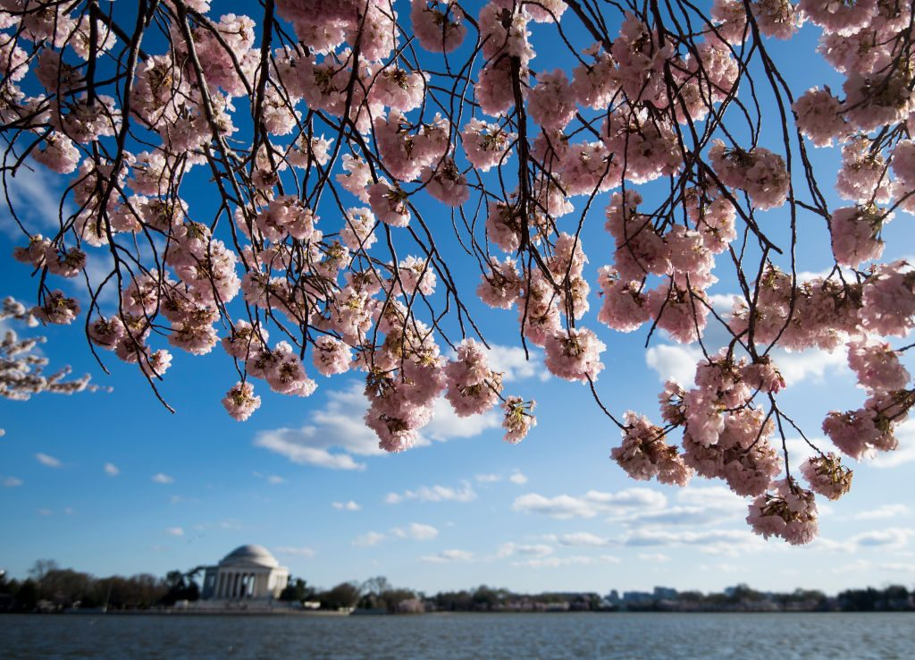 The Jefferson Memorial framed by cherry blossoms.