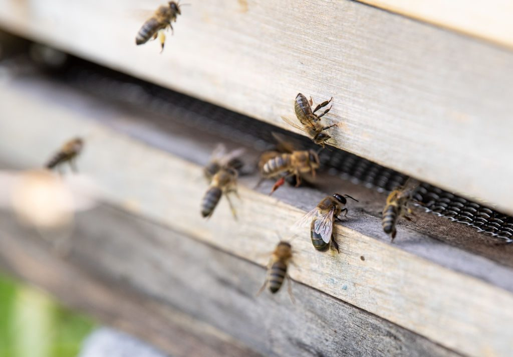 Honeybees in their hive