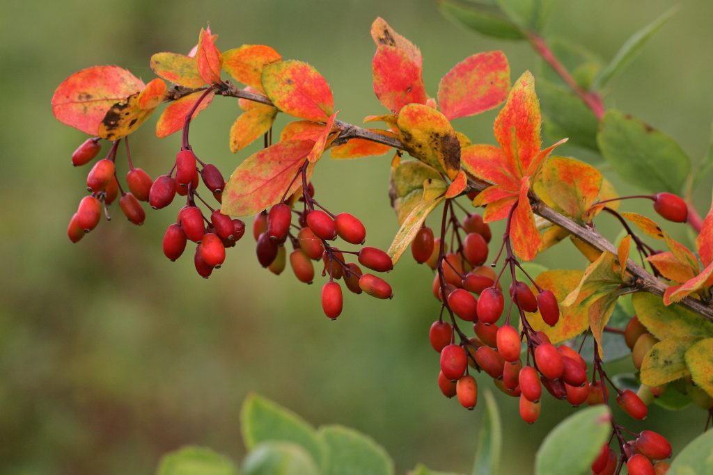 A common Barberry plant