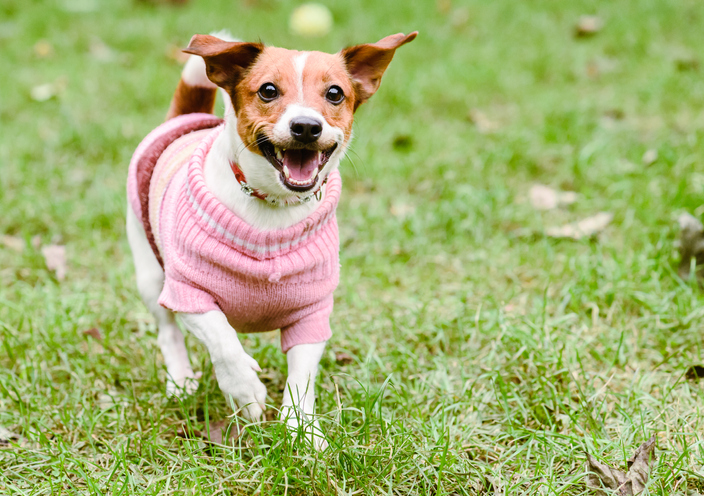 Happy dog running and wearing sweater