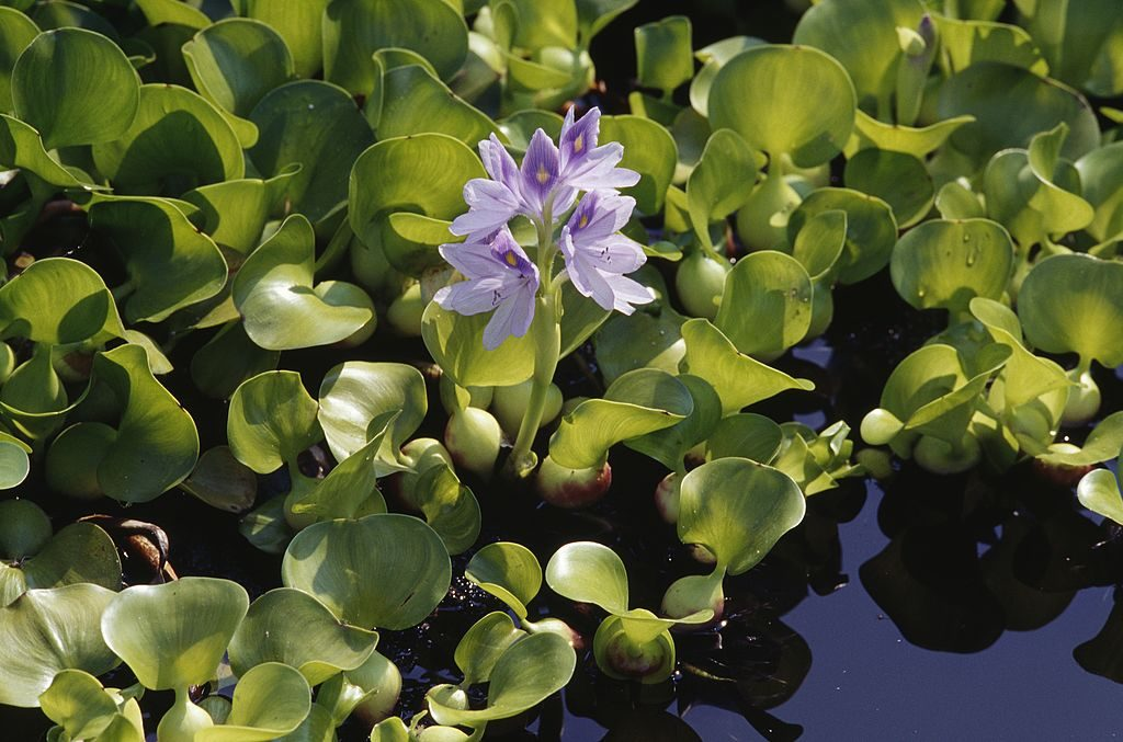 Close-up of common water hyacinth