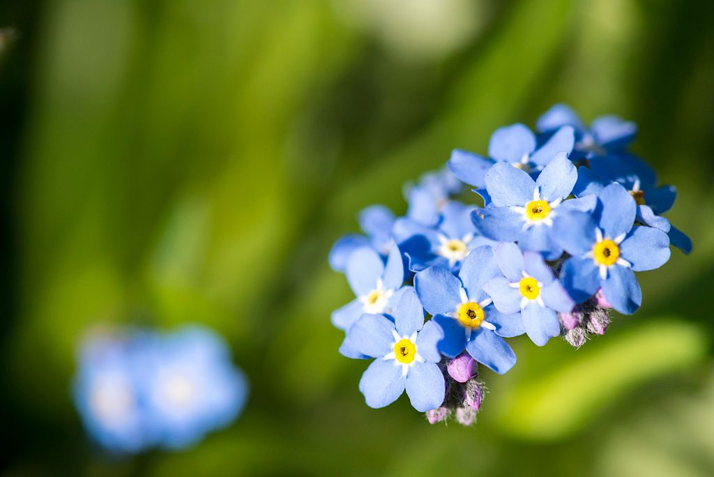 A close-up up Forget-Me-Nots