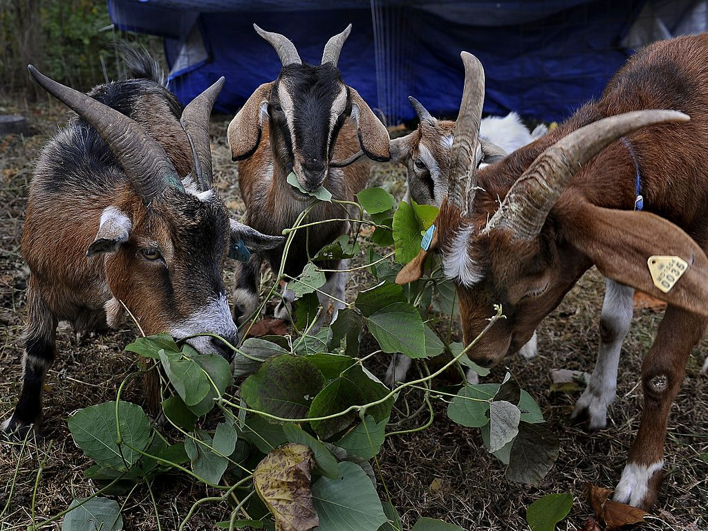 Goats eating wild kudzu