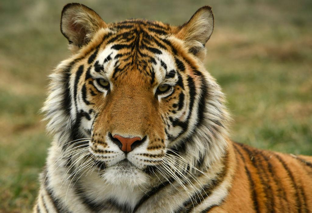 Tiger King bb
