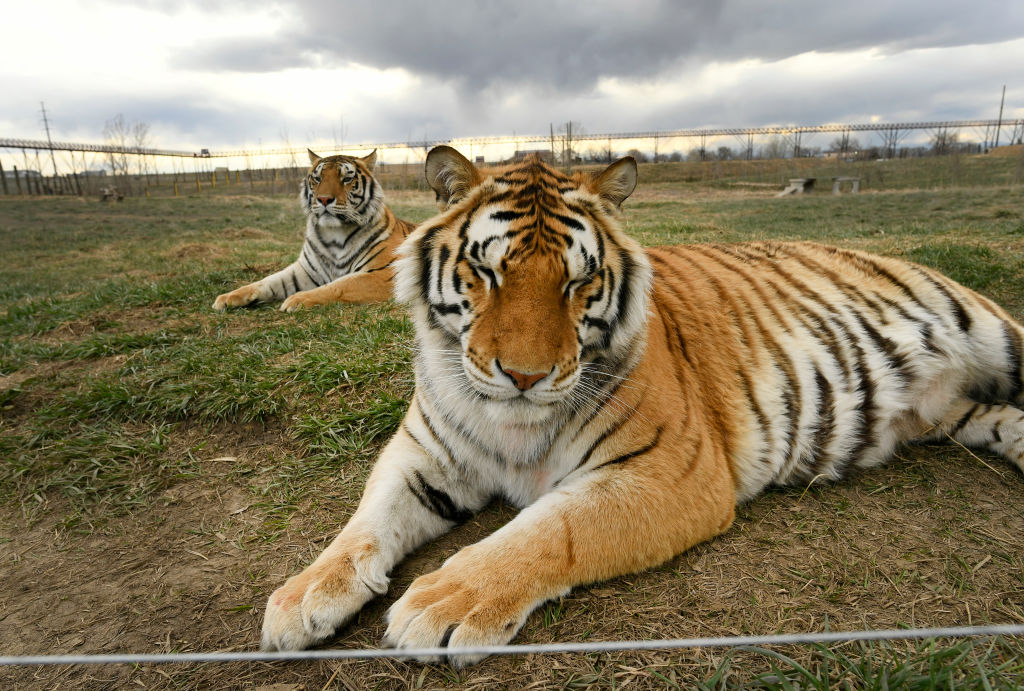 What happened to 'Tiger King' tigers