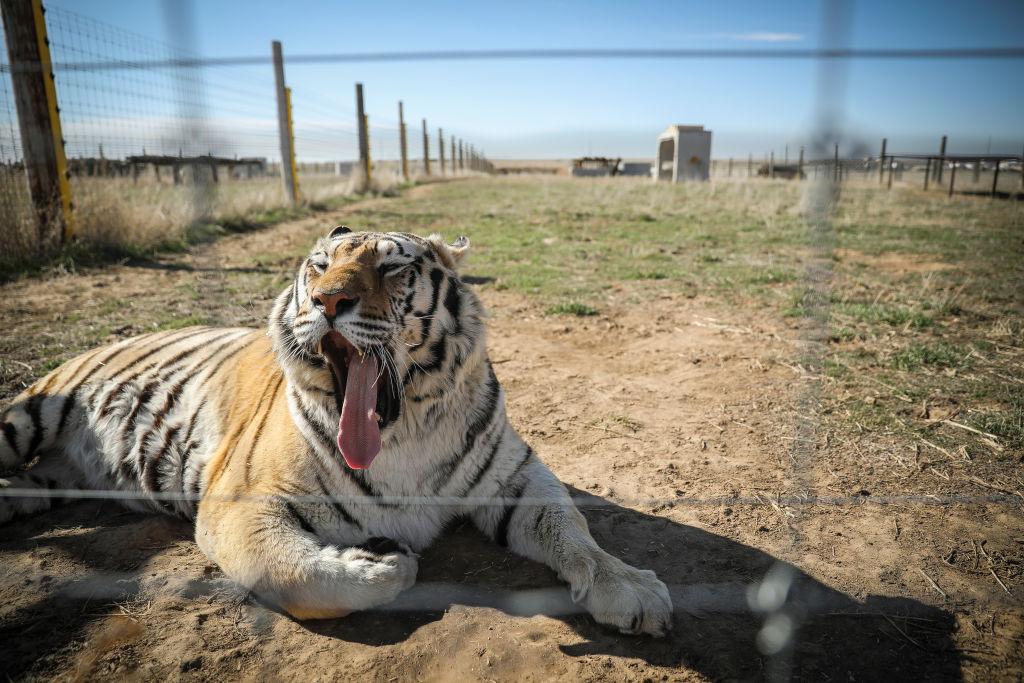 A tiger rescued from Joe Exotic's zoo