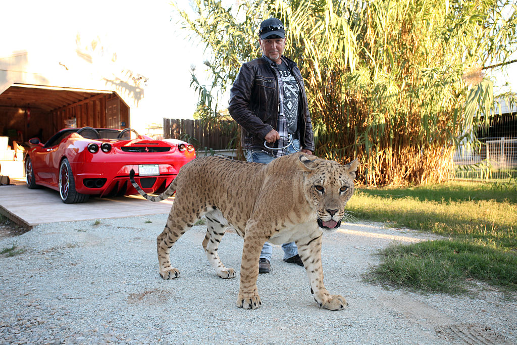 Jeff Lowe walks a tiger