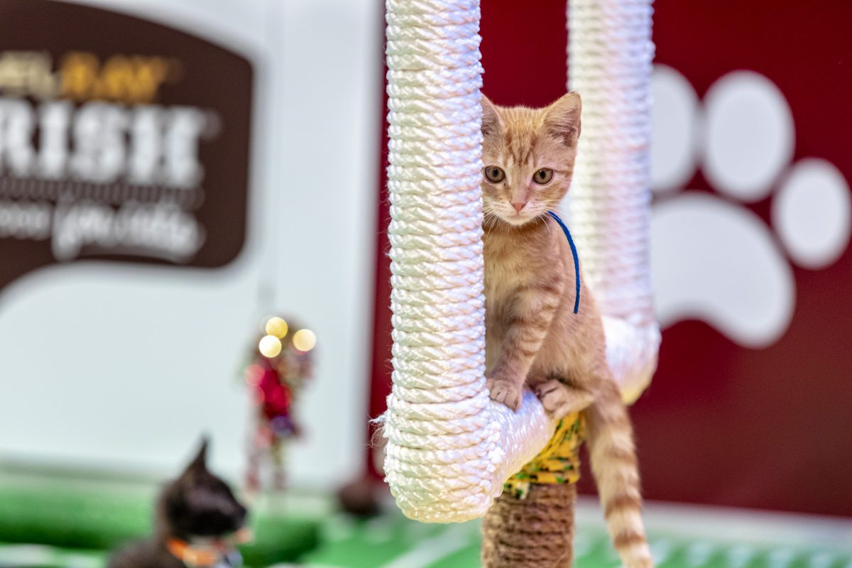 Kitten on the goal posts at Kitten Bowl 2021