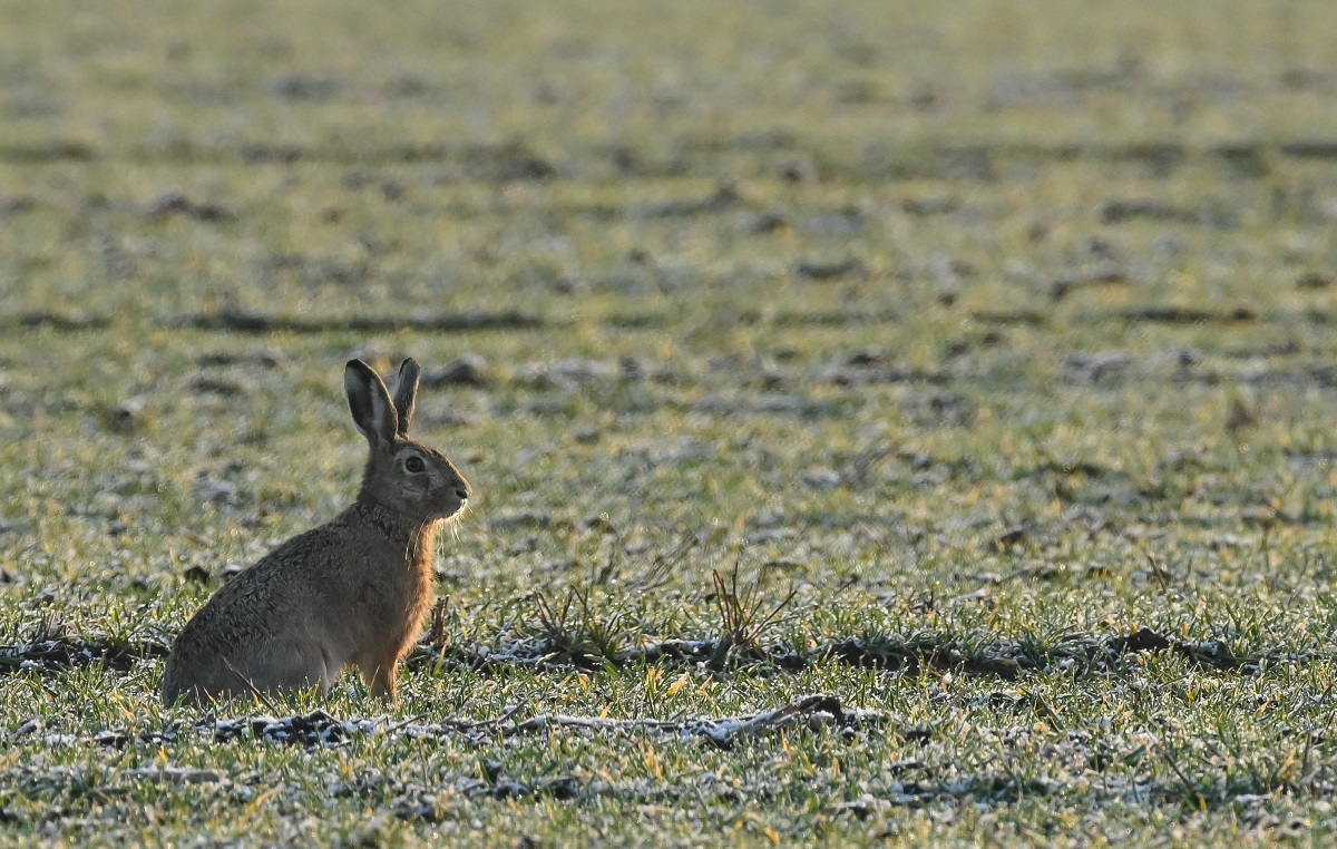 A brown hare (Lepus europaeus) crouches in the early morning in a field in the Oderbruch, a cultivated landscape in the east of the state of Brandenburg.